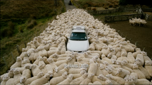 Black Sheep NZ taffic jam